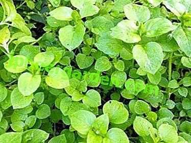Foto und Beschreibung eines Grases namens Holzläuse