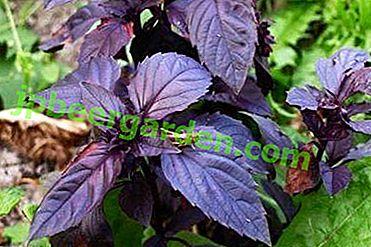Царська трава або фіолетовий базилік: унікальні властивості, огляд сортів з фото, вирощування і використання