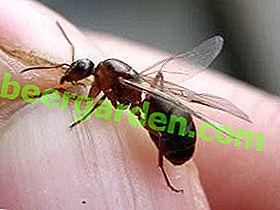 Wer fliegen geflügelte Ameisen?