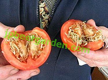 Una domanda importante: come coltivare gustosi pomodori dai semi?  Regole di atterraggio e assistenza