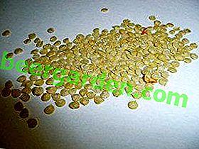 Préparez-vous à germer ou avez-vous besoin de faire tremper des graines de poivron avant de planter sur des semis