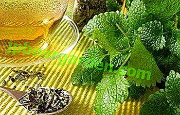 Повишава или понижава налягането на мелиса?  За какво е полезно растението и как да го приемате?