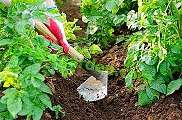 Покрокова інструкція: як підгортати картоплю різними способами.  Секрети багатого врожаю для садівників