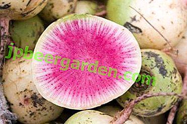 Connaissance du radis pastèque.  Caractéristiques caractéristiques et recommandations pratiques pour la culture de variétés