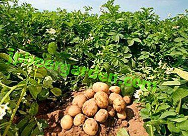 Всички добавки за изготвяне на бизнес план за картофи