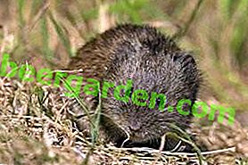 Запасливі мишки, що живуть колоніями - Полівки-економки
