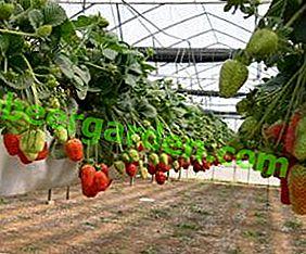 Das ganze Jahr über Erdbeeren im Gewächshaus anbauen: Tipps und Tricks