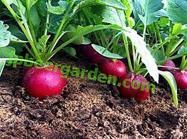 Menü für Radieschen: Wie füttert man die Pflanze nach der Keimung im Gewächshaus und im Freien?