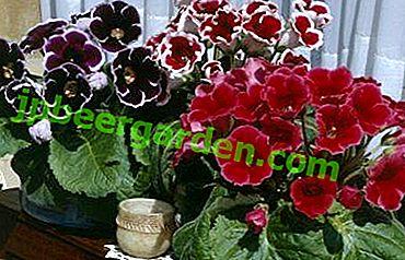 Rodzaje i opis gloksynii brokatu.  Sadzenie, pielęgnacja i rozmnażanie kwiatu