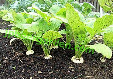 Jak zorganizować sadzenie rzepy: daty siewu, wybór odmian, ceny nasion, siew w otwartym terenie i w szklarniach