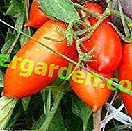 """Variété de tomates sans prétention avec de gros fruits savoureux de la sélection sibérienne """"Konigsberg"""""""