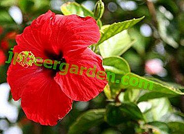 Китайська троянда: розмноження в домашніх умовах.  Що робити, якщо рослина не приживається?