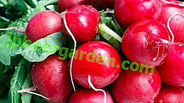 À quoi sert la variété de chaleur de radis, comment la cultiver et l'utiliser?