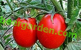 """Alter Bekannter """"Novice"""" - Eigenschaften und Beschreibung einer universellen Tomatensorte"""