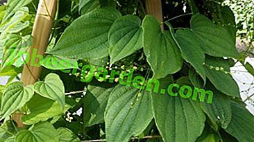 Dzikie ignamy, rośliny lecznicze, jego zalety i szkody.  Jak wziąć dioscorea na różne choroby?