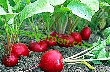 Was kann nach oder neben dem Rettich gepflanzt werden und wird er anstelle anderer Pflanzen wachsen?