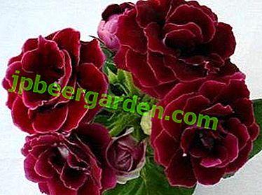 Tendre et éponge gloxinia Esenia: description, photo de la fleur et soins nécessaires