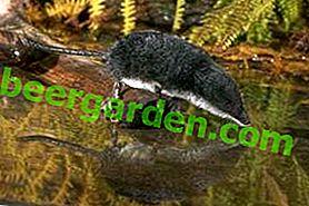 Види землерийок: Водяна землерийка, крихта, слонова