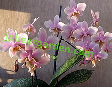 Felicità per ogni coltivatore!  Dettagli della Philadelphia Orchid e della sua foto