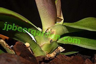 Forewarned - significa armato!  Trattamento e prevenzione del fusarium nelle orchidee, foto del fiore interessato