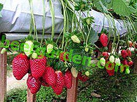 Beeren und Geschäft: Das ganze Jahr über Erdbeeren in einem Gewächshaus mit positiver Rentabilität anbauen