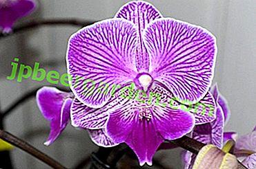 Schritt-für-Schritt-Anleitung zur Pflege einer Big Lip Orchidee zu Hause.  Wie kann man beim Blühen helfen?