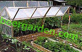 Wachsende Auberginen in einem Gewächshaus aus Polycarbonat: Auswahl der besten Sorte, Pflege und Top-Dressing