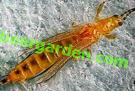 Инсекта западног цвијећа, калифорнијски трице