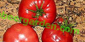 Сорт помідор з чудовим смаком - томат «Медовий»