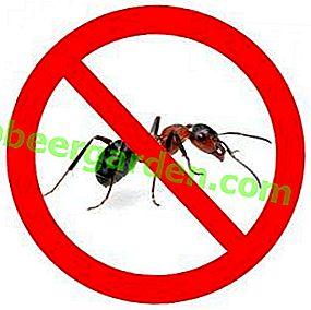 Гості на дачній ділянці.  Як позбутися від мурашок в городі?