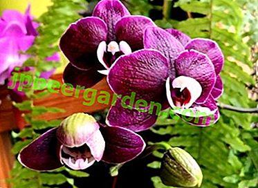 Як виростити орхідею Каода і змусити здивуватися навіть досвідчених квітникарів?