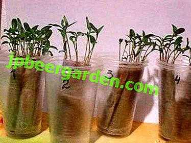Ist es möglich, Tomaten auf Setzlinge ohne Land zu pflanzen und wie man sie richtig umsetzt?