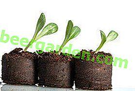 Comment planter des plants de concombres dans des pots et des pilules de tourbe?  Avantages et inconvénients de ces conteneurs, règles de plantation et d'entretien des jeunes plants