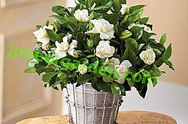 Caratteristiche di un trapianto di gardenia competente: che tipo di terreno è necessario, come viene eseguita la procedura e poi si prendono cura della pianta?
