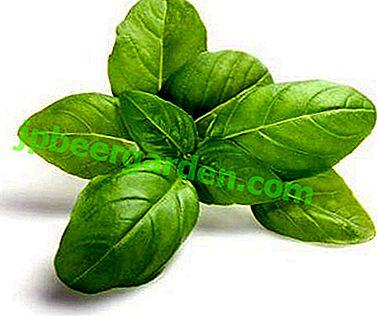 Јединствена биљка је лимунов босиљак.  Опис и фотографије, правила узгоја и неге