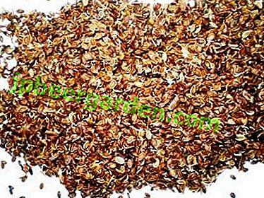 Comment faire tremper les graines de persil dans la vodka pour accélérer la germination?  Avantages du traitement, conseils et instructions étape par étape