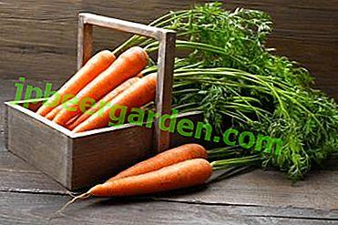 Nützliche Eigenschaften von Karottenoberteilen und deren Anwendung