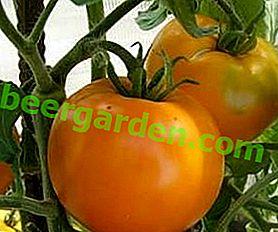 """Tomate chaleureuse """"Golden Anniversary"""" f1 - une variété précoce lumineuse pour votre serre"""