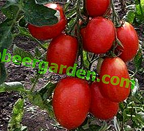 """Beschreibung und Eigenschaften einer der köstlichsten Tomatensorten - """"Stolypin"""""""