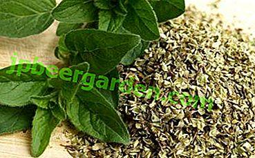 Das beliebteste Gewürz der Welt ist Oregano.  Würzmerkmale und deren Anwendung sowie Pflanzenfotos
