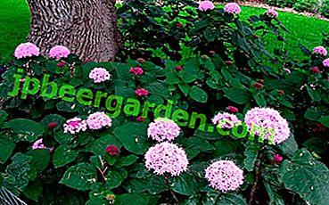 Тропически храст, опитомен до домашен прозорец.  Всичко за Clerodendrum Bung и неговата снимка