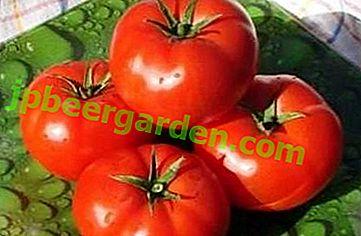 Незрівнянний томат «Андромеда» F1: характеристики і опис сорту помідор, фото, особливості вирощування