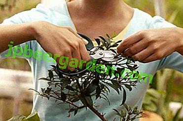 Quando e come potare l'azalea a casa?  Istruzioni dettagliate e consigli per la cura