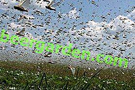 Maßnahmen zur Bekämpfung von Heuschrecken nach Arten: Riese, Wüste, Asiatisch, Marokkanisch