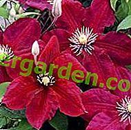 Une bonne taille de clématite stimule une floraison luxuriante