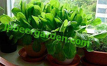 Grüner Spinat auf der Fensterbank das ganze Jahr über: Wie kann man ihn zu Hause anbauen?