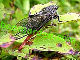 Zikaden: Weiß und Büffel - Maßnahmen und Mittel zur Bekämpfung von singenden Schädlingen