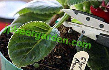 Wie vermehrt sich Gloxinia mit Blatt?  Anweisungen und Tipps