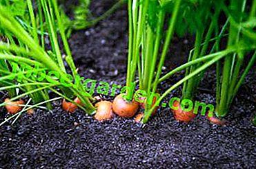 Практически препоръки за засаждане на моркови в нишесте в открита земя