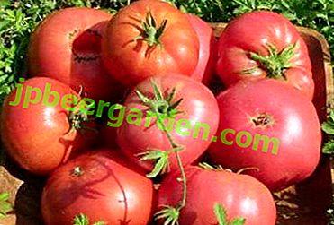 """Nous cultivons des tomates à haut rendement """"framboise Ozharovsky"""": une description de la variété, des avantages et des inconvénients"""